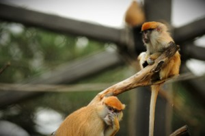 Patas Monkeys on Look Out