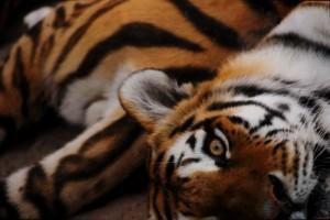 Peek-a-Boo Tiger