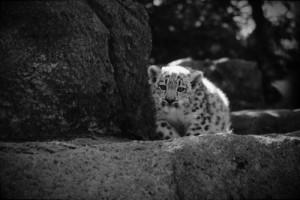 Stealthy Snow Leopard Cub