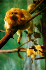 Golden Lion Tamarins