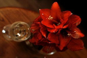 Wine and Amaryllis